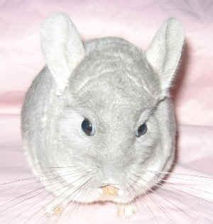 chinchillas do you and treats on