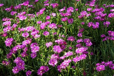 fiori giardino perenni fiori da giardino perenni giardino