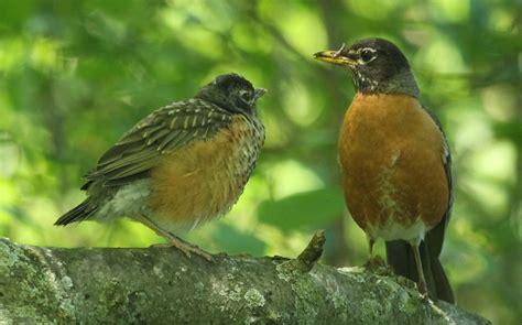 arboretum nesting orioles and fledgling robins 187 skinny