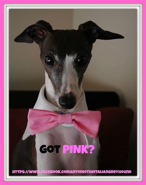breast cancer in dogs got pink breast cancer awareness italian greyhounds
