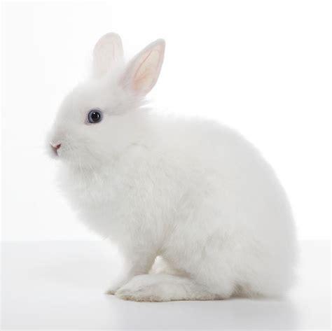 Bunny White white bunny rabbit white rabbit isolated on white