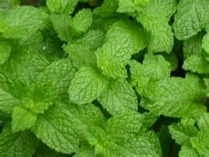 mint plant varieties review