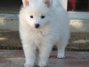 miniature american eskimo pomeranian mix american eskimo puppies for sale
