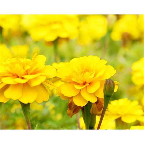 Yellow Marigold yellow marigold 12 plants dc12pkmaryel the home depot