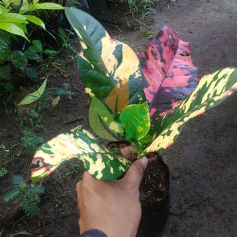 Bibit Tanaman Puring Oscar jual bibit puring hias oscar v2