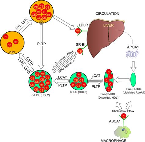 Lipoproteins Cholesterol Homeostasis And Cardiac Health
