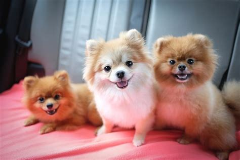 Pomeranian Hairstyles by Grooming Styles For Pomeranians Pets