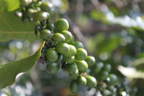 Green Coffee Bean green coffee bean claims are to so don t get jazzed up nutrition unplugged