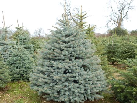 can i grow my own christmas tree eden restored