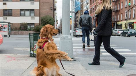 louboutin golden retriever meet the nyc who stands on the corner offering hugs rover