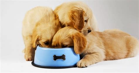 golden retriever puppies albuquerque fast my puppy scarfs food 187 albuquerque vetco