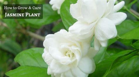 grow  care  jasmine plant home gardeners