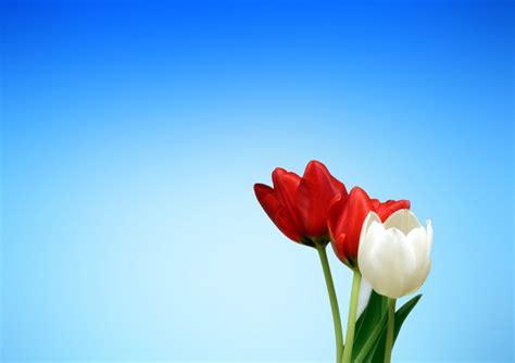 imagenes para fondo de pantalla de tulipanes imagen de tulipanes rojo y blanco foto gratis