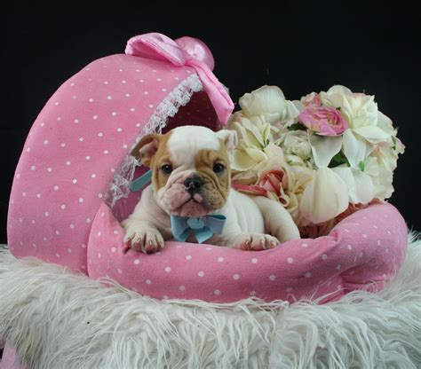 puppies store teacup puppies store puppies for sale luxury puppy boutique supplies and accessories