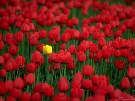 wallpaper flower red flowers wallpapers red tulips flowers wallpapers