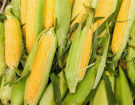 can dogs eat cornbread can dogs eat corn or is corn bad for dogs ultimate home