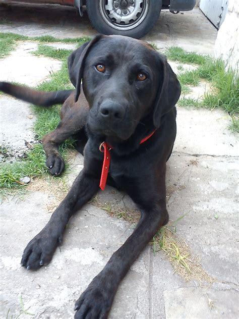 imagenes labrador negro fotos de perros labrador negro imagui