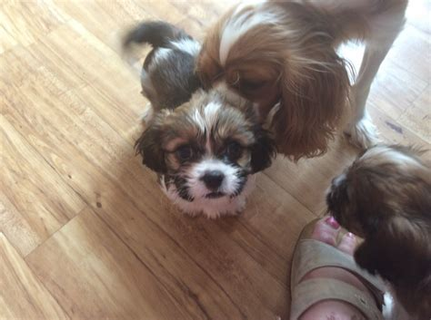 cavapoo puppies for sale in cavapoo puppies for sale chichester west sussex pets4homes