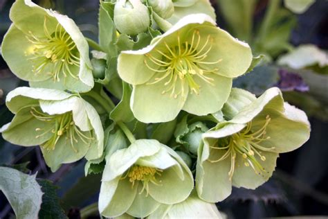 hellebores flirty fleurs the florist blog inspiration for floral designers