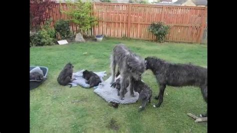 scottish deerhound puppies truly scrumptious scottish deerhound puppies 26 may 2012