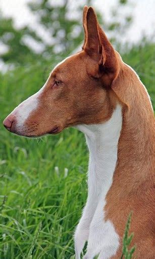hound true ibizan hound breeds picture