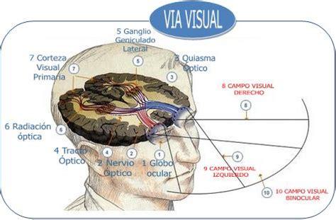 imagenes de las vias visuales explorando el mundo de la visi 243 n eficacia visual fusi 243 n