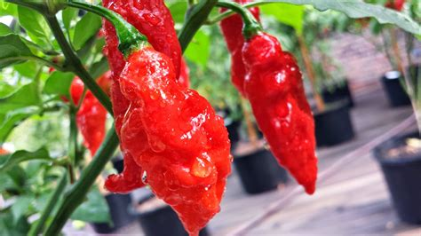 Bibit Cabe Hias Moruga Scorpion Bibit Cabe Pepper Scorpion Mawar Pelangi Tomat Strawberry Hitam Pusat Jual Beli
