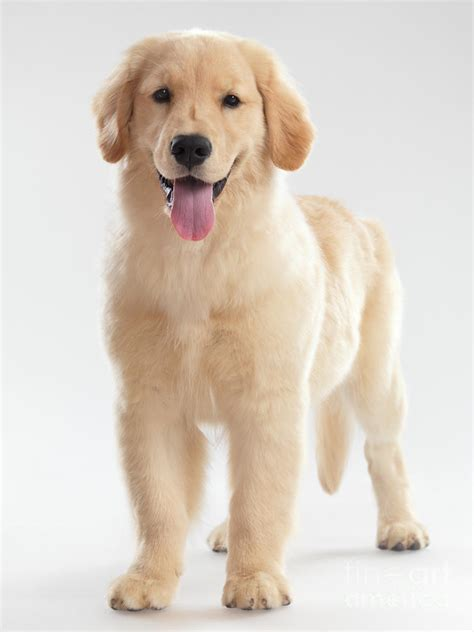 do golden retrievers make pets 1000 images about not just puppies on puppys ducks and cavalier king charles