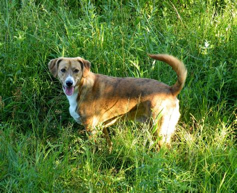 Mountain Cur dog on the grass photo and wallpaper