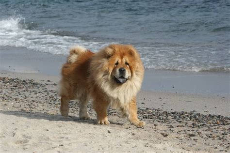 dogs that look like lions chow dogs that look like lions