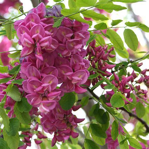 robinia pseudoacacia casque rouge pink cascade false