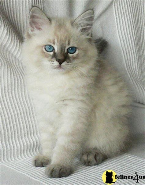 Siberian Kitten for Sale: Hypo Allergenic Kittens