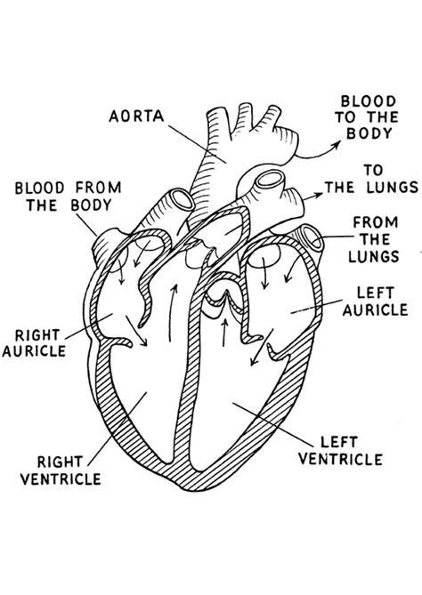 coloring page of human heart p 225 gina para colorir cora 231 227 o img 16644