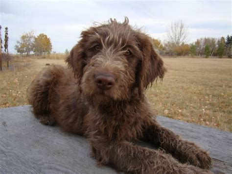 chocolate labradoodle puppies aussie labradoodle puppies 2015 aussiedoodle and labradoodle puppies best
