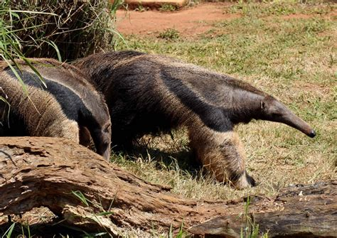 top  facts  anteaters behavior diet digestion  factsnet