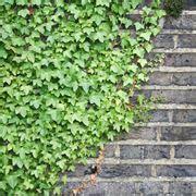 piante sempre fiorite piante ricanti fiorite ricanti piante ricanti