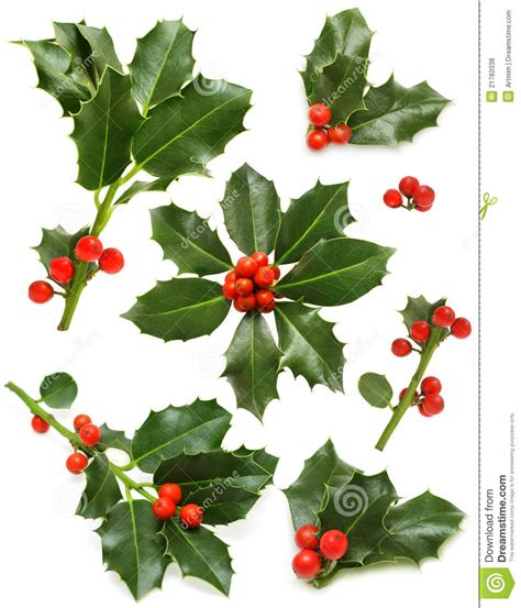 christmas leaf green leaf berry twig stock photo image 21782038