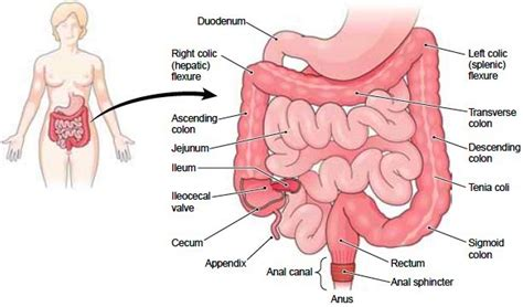 diagram of bowel cecum definition function location and related conditions