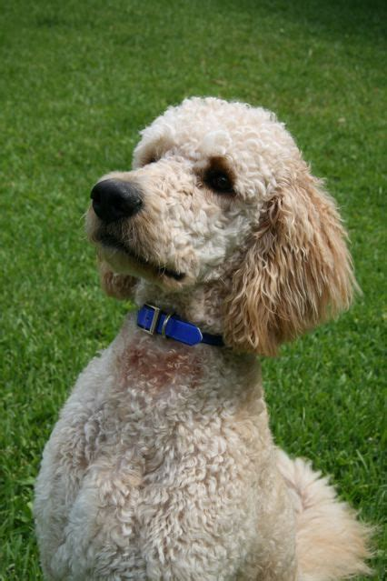 mini goldendoodle haircuts 20 best images about doodles dogs on search