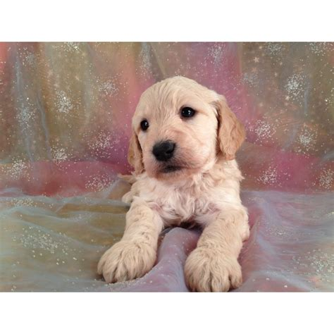 mini goldendoodles for sale in iowa puppies for sale goldendoodle miniature goldendoodles