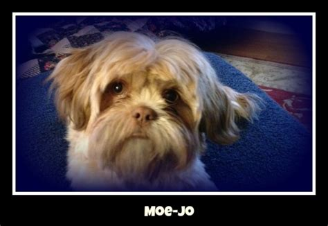 yorkie puppies for sale in shreveport la picture of gizmo emilio a brussels griffon breeds picture