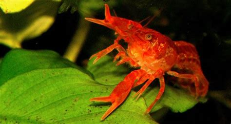 Olearys Nano by A Mexican Crayfish For Nano Aquariums By O Leary