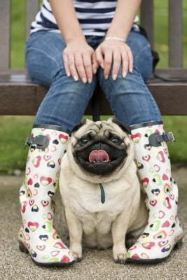 pug colors fawn how to breed black and fawn pugs in colors care daily puppy