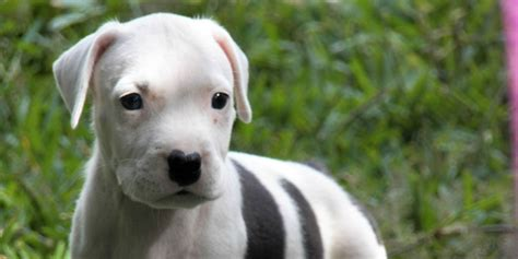 American Pit Bull Terrier - Information, Characteristics ...