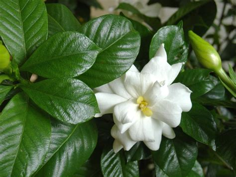 kill  gardenia hgtv