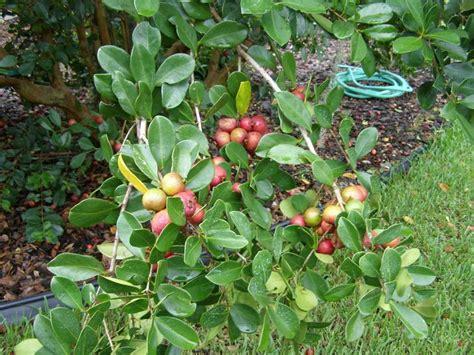 florida fruit trees florida gardening forum fruit trees in fl garden org