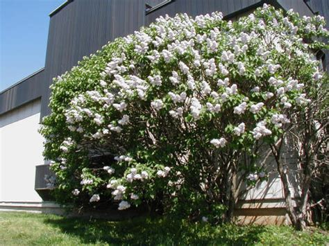 common flowering shrubs common lilac