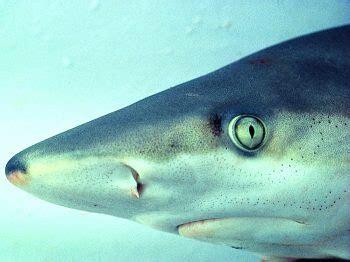 can sharks see color can sharks see color
