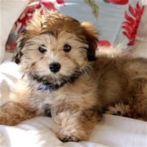 havanese rescue oklahoma 1000 images about havanese on havanese puppies havanese dogs and