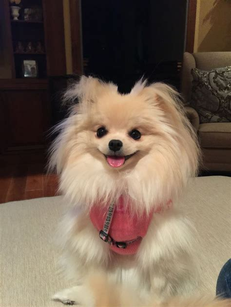 pomeranian uglies before and after 17 best images about pomeranian on westminster show puppys and